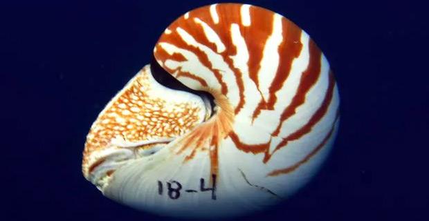 Nautilus Vitiensis.  14345830425b5e87c24f9c94093350